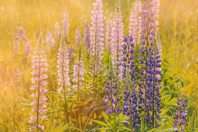 开花的凶猛花 r 五颜六色的夏天花背景 库存图片
