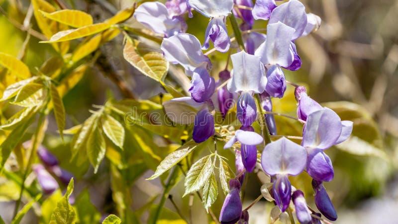 开花的分支中国和日本紫藤特写镜头  典雅的自然概念 库存照片