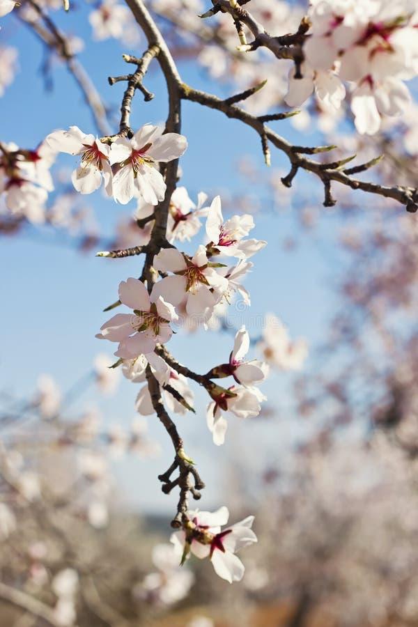 开花的分支在春天 图库摄影