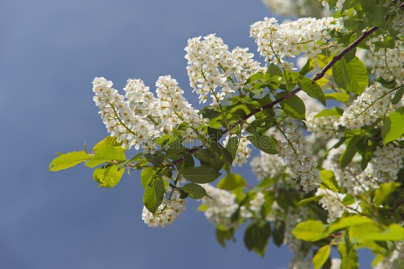 开花的分支樱桃树在春天 免版税库存图片