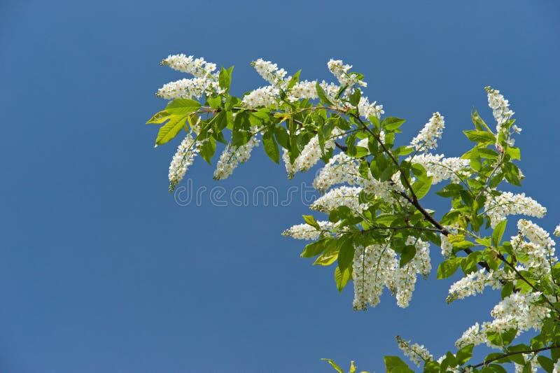 开花的分支樱桃树在春天 库存照片