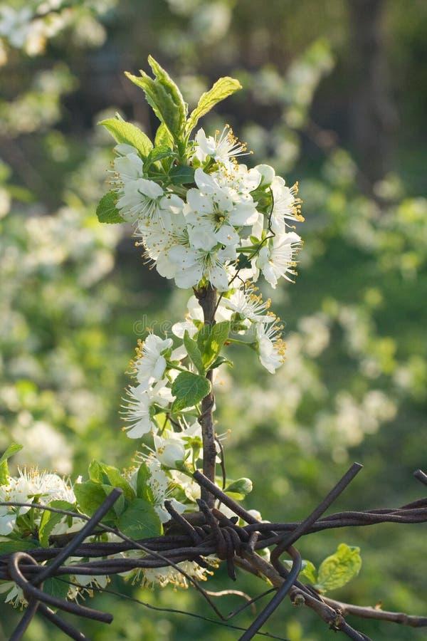 开花的分行樱桃春天结构树 库存图片