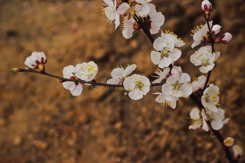 开花的分行樱桃春天 免版税库存图片