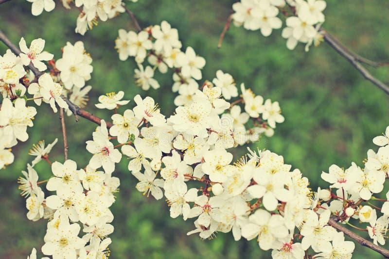 开花的分行结构树 库存照片