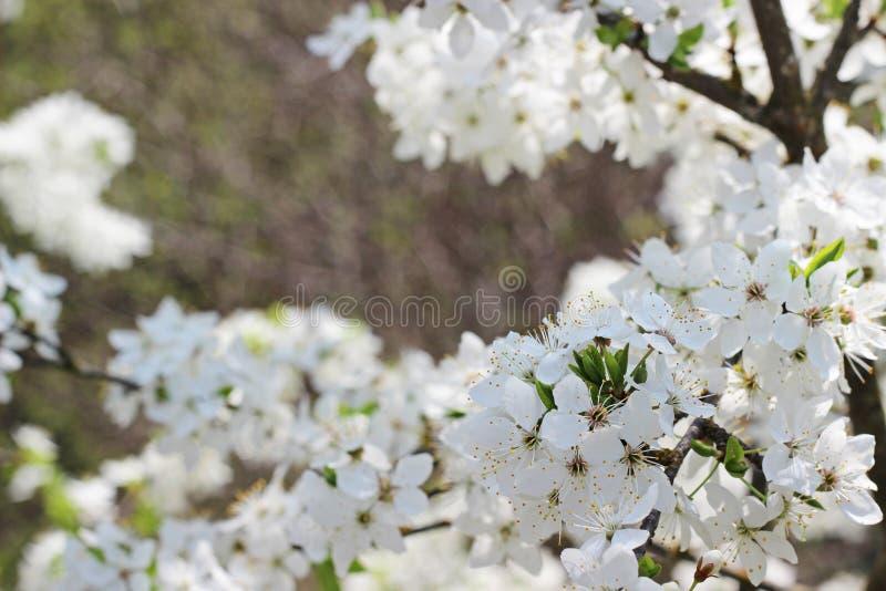 开花的分行结构树 库存图片