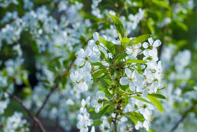 开花的分行结构树 免版税库存图片