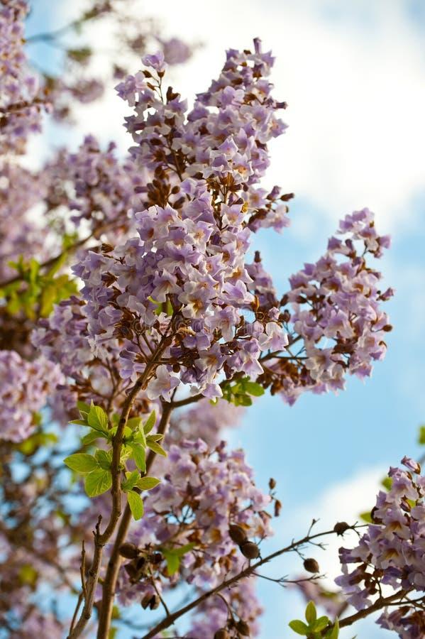 开花的分行paulownia结构树 免版税图库摄影