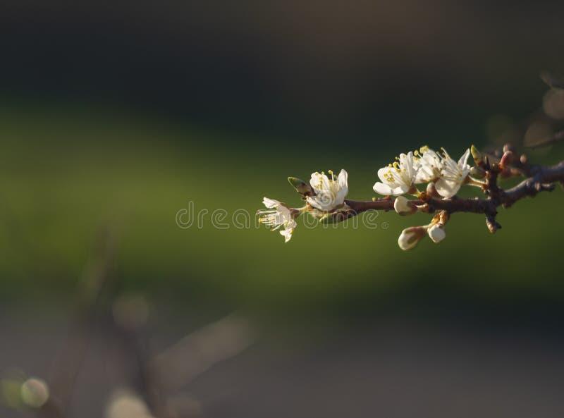开花的刺布什黑刺李,在温暖的春天太阳的李属spinosa在希腊 图库摄影
