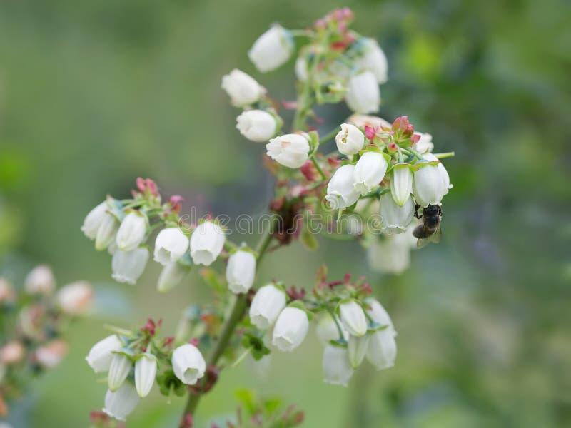开花的加拿大蓝莓 库存照片