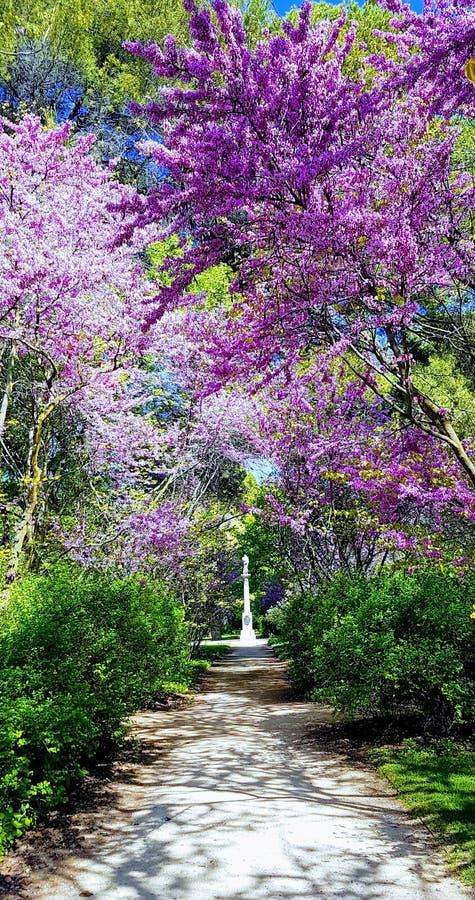 开花的南欧紫荆树在一个晴朗的早晨 免版税图库摄影