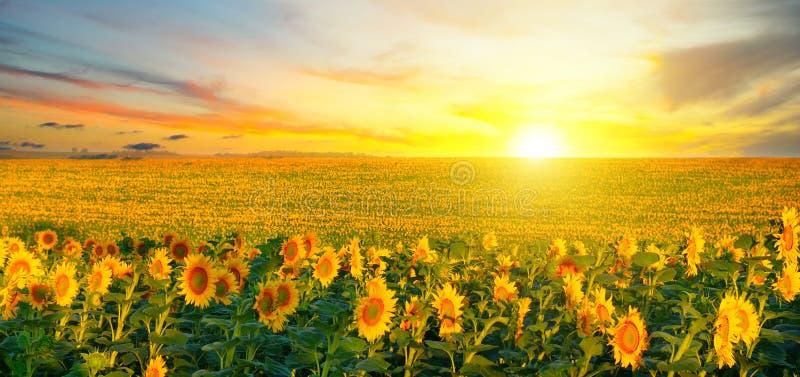 开花的向日葵和日出的领域 r 免版税库存照片