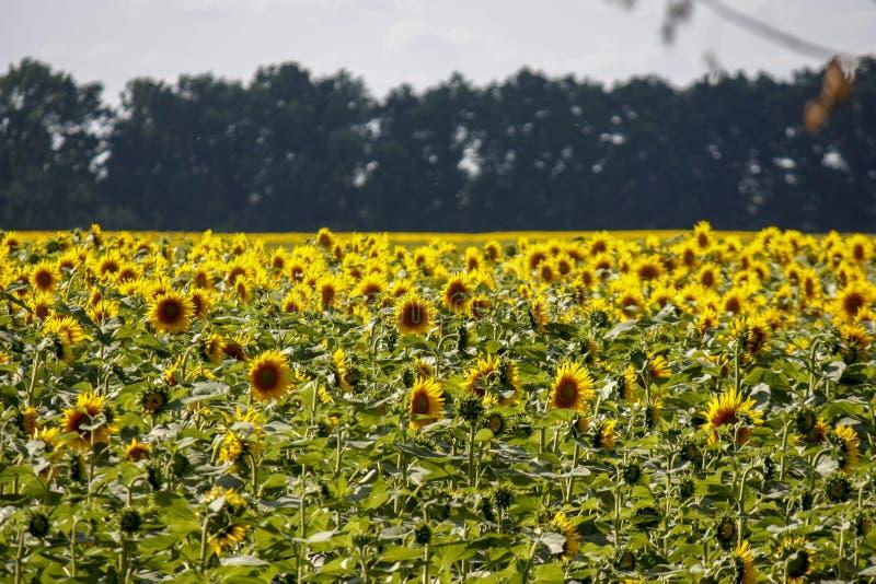 开花的向日葵在背景中被转动对太阳在一好日子与树 r 免版税库存图片