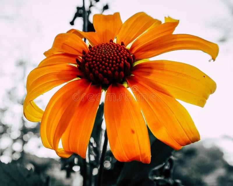 开花的向日葵特写镜头摄影在一个公园有迷离背景 图库摄影