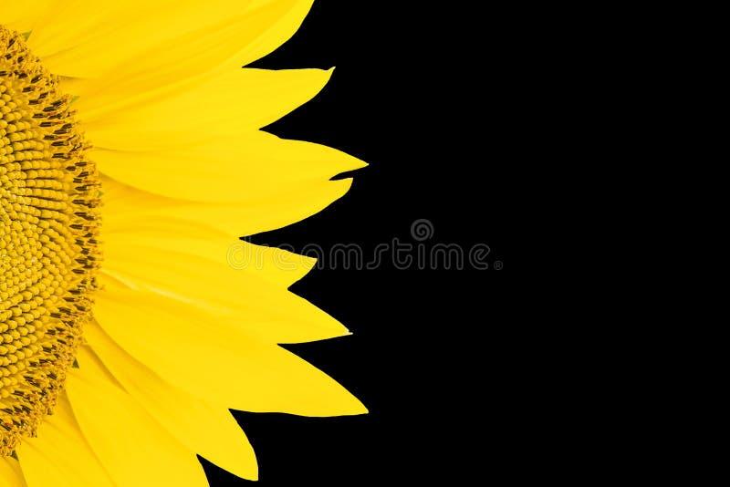 开花的向日葵特写镜头的片段在黑背景的 库存照片