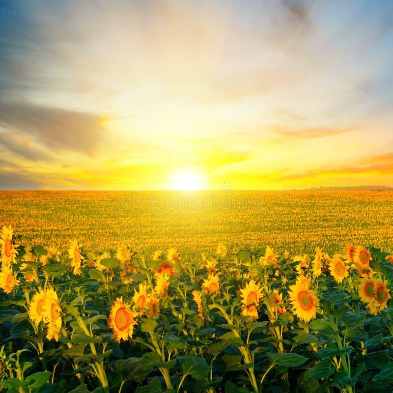 开花的向日葵的领域在背景日出的 免版税库存图片
