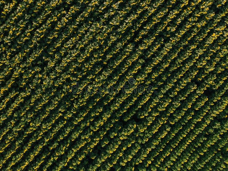 开花的向日葵的领域鸟瞰图  免版税库存图片