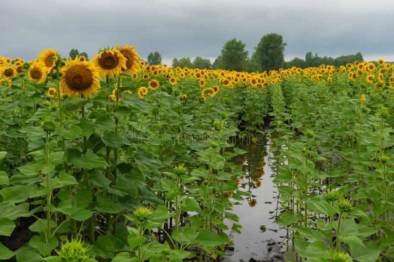 开花的向日葵调遣在水池的那个身分多雨夏日 免版税库存照片