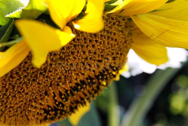 开花的向日葵,夏天早晨,特写镜头 免版税库存照片