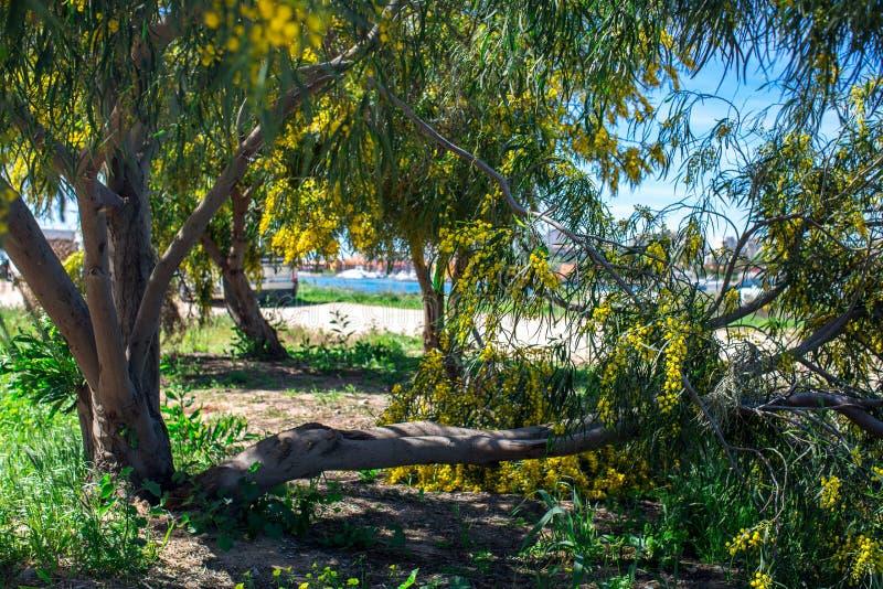 开花的含羞草树丛林以河Arade在Ferragudo,阿尔加威,葡萄牙为背景的 图库摄影