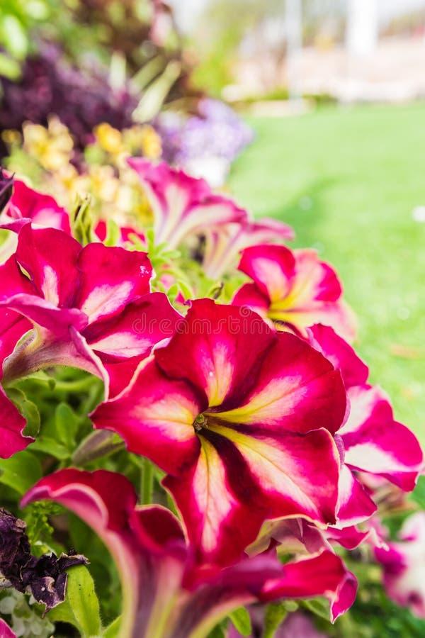 开花的喇叭花背景  库存照片