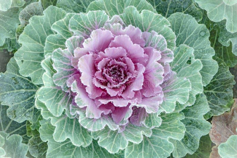 开花的圆白菜,特写镜头:纹理桃红色和石灰 库存照片