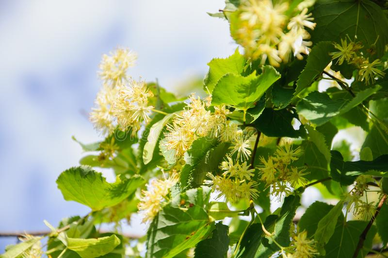 開花的大葉子菩提樹椴樹屬 分支用黃色花報道 藥用植物圖片