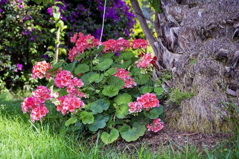 开花的大竺葵花在一个热带庭院里 免版税库存照片
