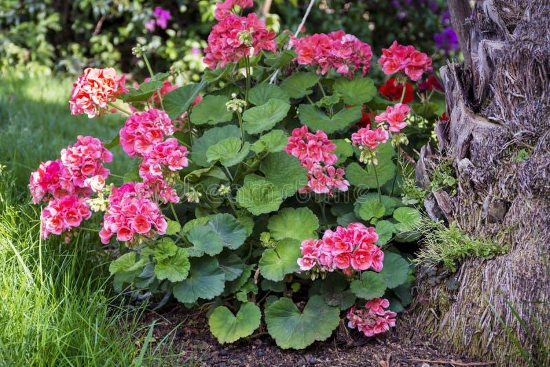 开花的大竺葵花在一个热带庭院里 免版税库存图片