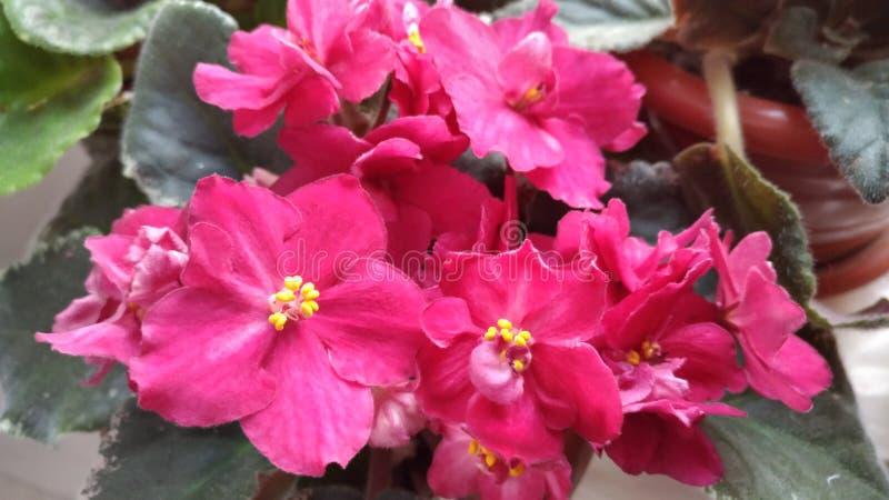 开花的室内花/开花紫罗兰色/美丽的花/ 免版税库存照片