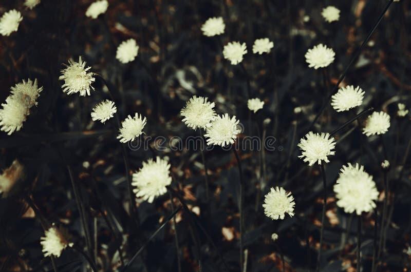 开花的山柳水兰属的植物黄色花 黑暗成为不饱和处理 库存照片