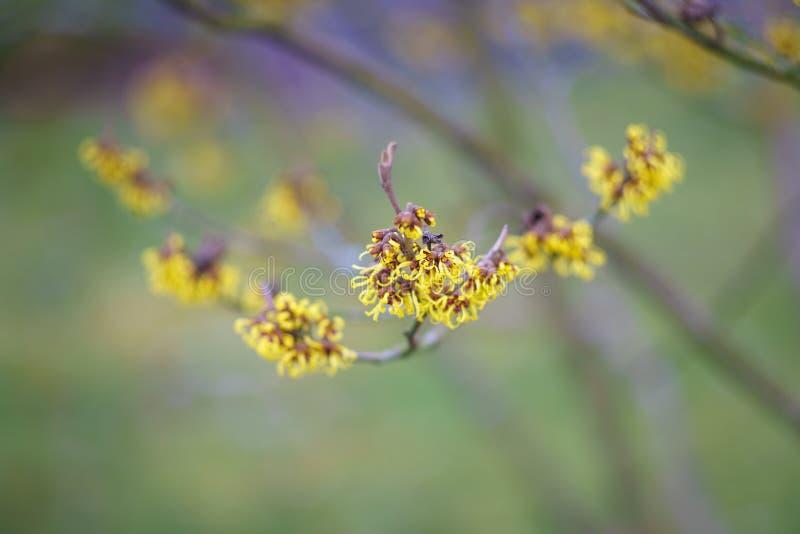 开花的巫婆榛树金缕梅 库存图片