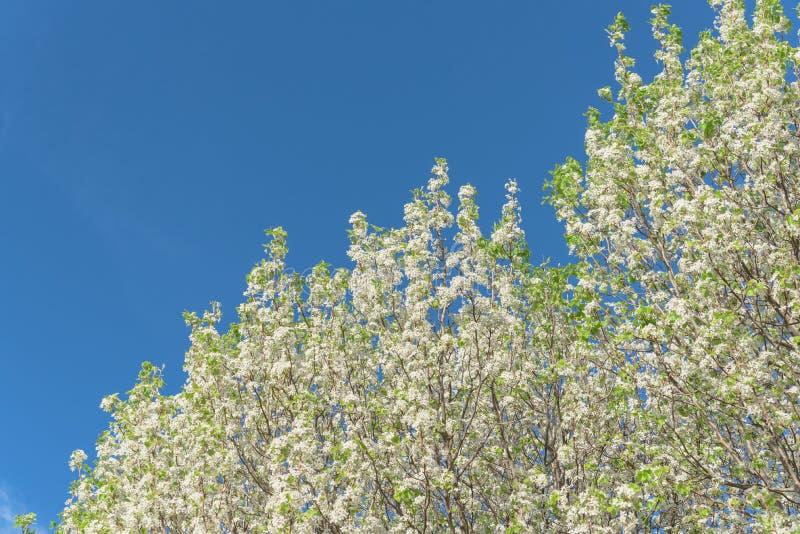 开花的布雷得佛洋梨树在春天开花在欧文,得克萨斯, 免版税库存照片