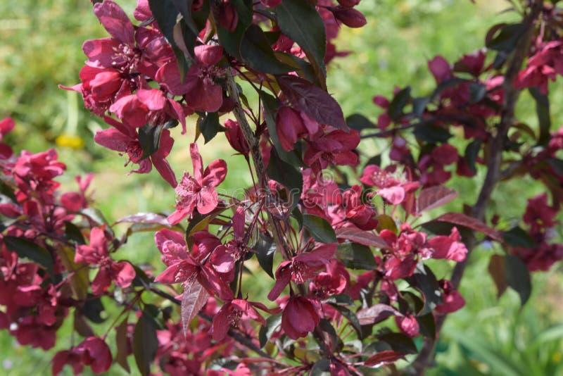 开花的庭院在春天 苹果树皇族 库存图片