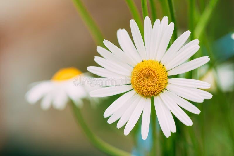 开花的庭院装饰花接近的看法,白色春黄菊 图库摄影
