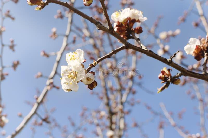 开花的庭院 在树的特写镜头花反对蓝天 背景概念花春天空白黄色年轻人 免版税库存照片