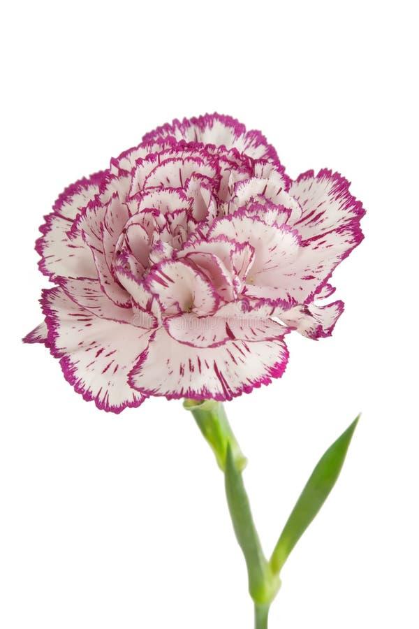 开花的康乃馨花粉红色白色 库存图片