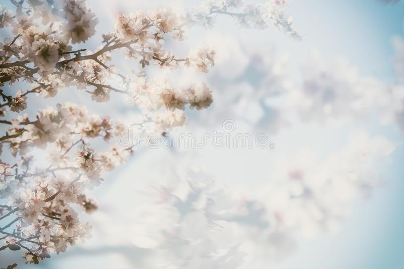 开花的开花本质春天云杉 桃红色杏仁开花特写镜头,迷离背景,拷贝空间 图库摄影