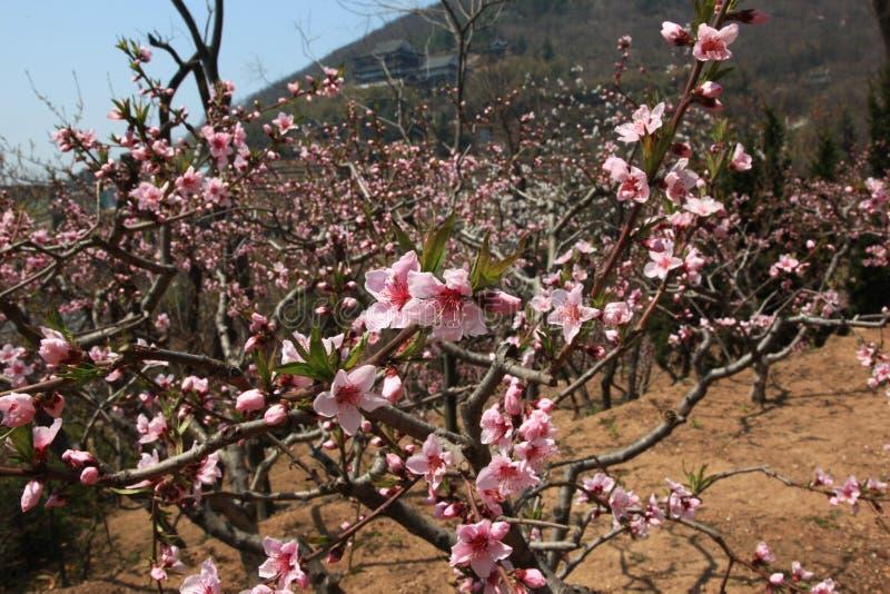 开花的开花桃子 免版税图库摄影