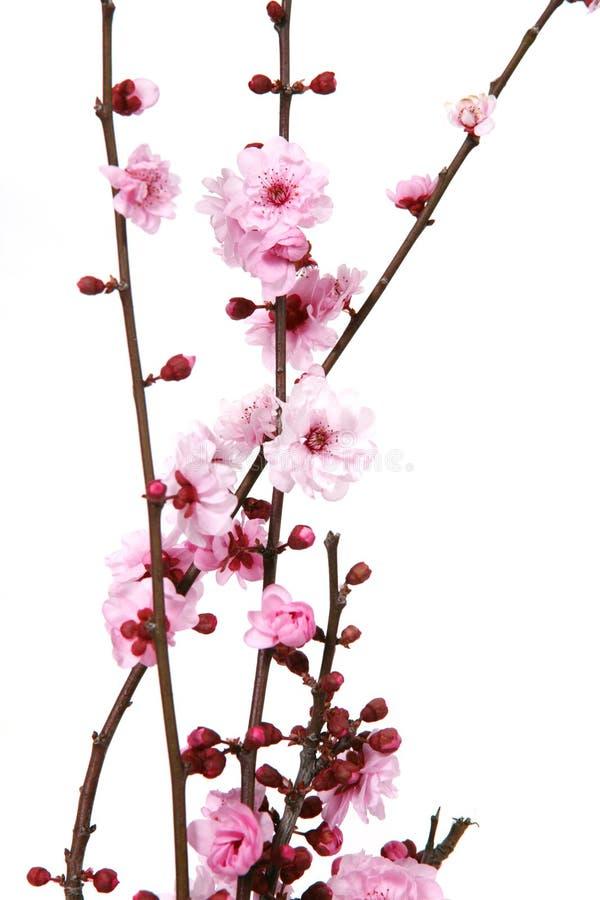 开花的开花樱桃 免版税库存图片