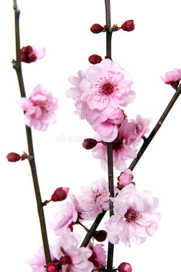 开花的开花樱桃 库存照片
