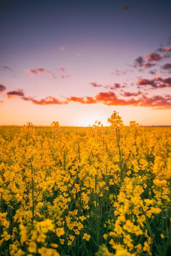 开花的开花的强奸,油菜籽,油籽种子在Su的领域草甸 免版税库存图片