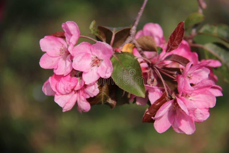 开花的开花的桃红色苹果樱桃花的关闭 库存照片