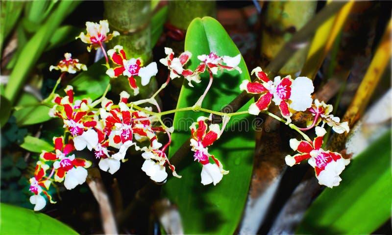 开花的微型基部重合的Oncidium兰花 免版税库存图片