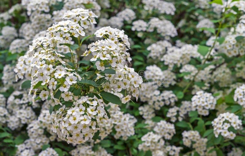 开花的斯皮雷亚绣线菊类的植物cantoniensis 在小白花的斯皮雷亚绽放 库存照片
