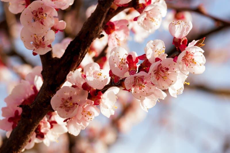 开花的日本樱桃树 开花与明亮的白花的白色,桃红色佐仓花在背景中 免版税库存图片