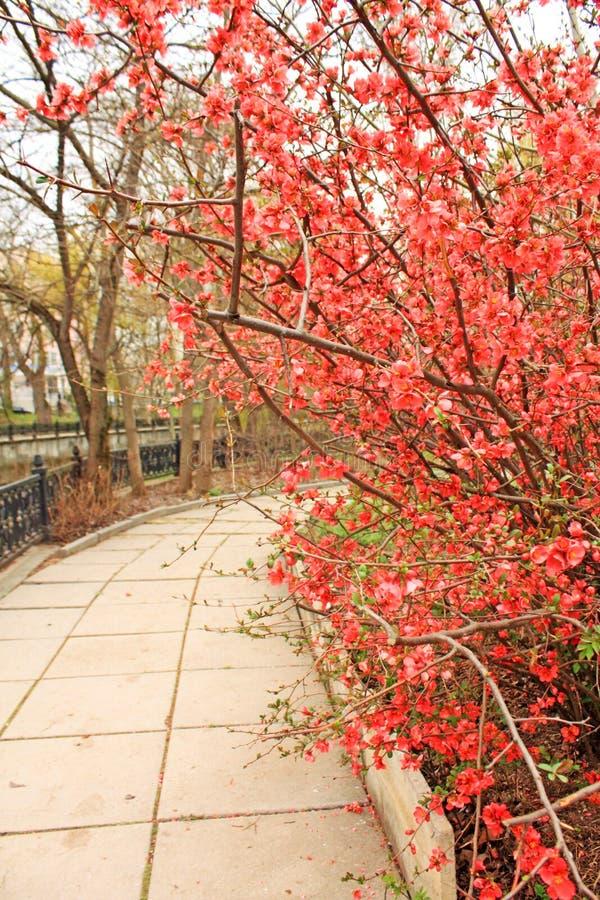Download 开花的日本洋李 库存照片. 图片 包括有 平安, 花卉, 李子, 开花, 春天, 植物群, 粉红色, 环境 - 30327706