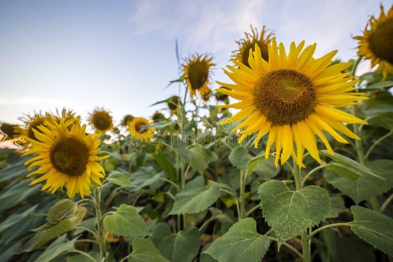 黄色小�{�p_开花的明亮的黄色成熟向日葵领域 农业,油p