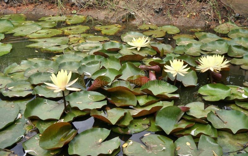 开花的明亮的黄色水lilly在池塘 免版税库存照片
