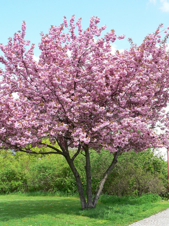 开花的春天结构树 免版税图库摄影