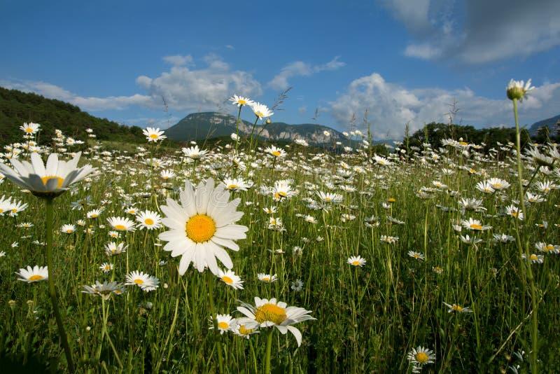 开花的春黄菊的领域 山在背景中 美好的横向 库存照片